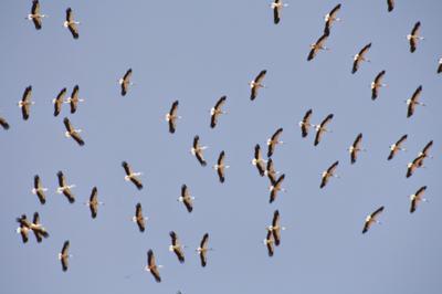 White Storks Migrating