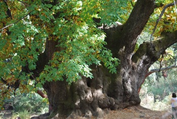 Castaño Santo - century old chestnut tree