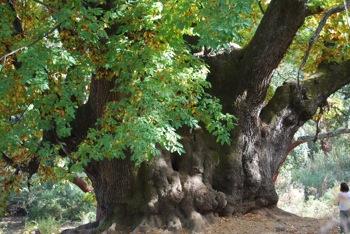 Castaño Santo - century old chestnut tree