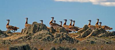 Great Bustards by S.Powell
