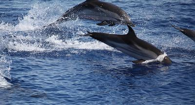 Spanish Dolphins