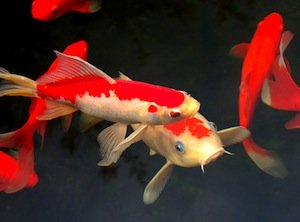 Koi fish Marbella